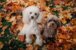 white and chocolate poodles. in autumn leaves. Pet in nature. Cute dog on nature