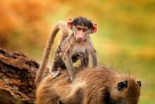 Monkey Young Cub. Chacma Baboon, Papio Ursinus, Monkey From Moremi, Okavango Delta, Botswana. Wild Mammal In Nature Habitat. Monkey Feeding Fruits In Green Vegetaton. Wildlife Nature In Africa.