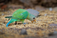 Orange-chinned Tovi Parakeet, Brotogeris Jugularis, Feeding Corn On The Ground. Green Parrot In The Nature Stone Habitat, Ranthambore NP, India In Asia. Tovi Parakeetin Nature.