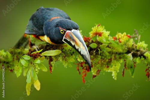 Fototapeta premium Collared Aracari, Small toucan Pteroglossus torquatus, bird with big bill. Toucan sitting on the branch in the forest, Boca Tapada, Costa Rica. Nature travel in central America.