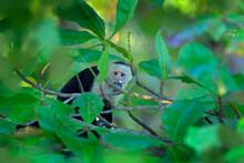 Monkey Catch Dove Bird, Feeding Scene. White-headed Capuchin, Black Monkey Sitting On Tree Branch In The Dark Tropical Forest. Wildlife Of Costa Rica. Travel Holiday In Central America.