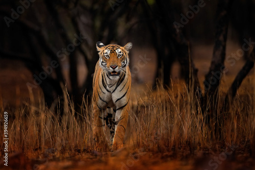Fototapeta Indian tiger, wild animal in the nature habitat, Ranthambore NP, India. Big cat, endangered animal. End of dry season, beginning monsoon. Tiger from Asia. obraz