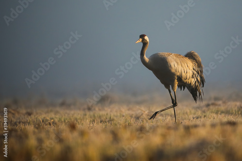 Fototapeta premium common crane, grus grus, walking on meadow in autumn morning mist. Wild long legged bird marching on dry field. Grey animal with long neck moving on pasture.