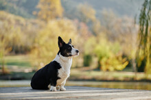 Cardigan Welsh Corgi Is Sittin...