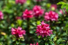 Fleur De Rhododendron , En Mon...