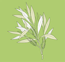 Vector Of Leafs Melaleuca Alternifolia, Commonly Known As Tea Tree, Is A Species Of Tall Shrub In The Myrtle Family, Myrtaceae. Beautiful Illustration Isolated On Green Background.