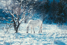 White Foal On The Background Of A Fabulous Winter Landscape Christmas Eve,