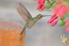 Anna's Hummingbird, Calypte An...