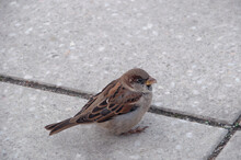 Little Gray Sparrow Jumps On T...