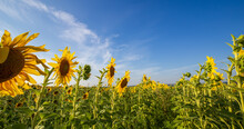 Sunflower Field. Agriculture. ...