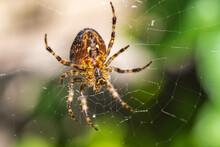 This Garden Spider Is Waiting ...