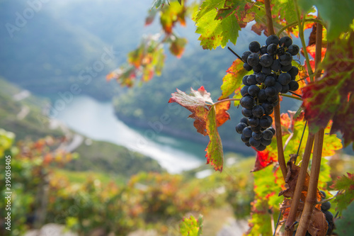 Bunch of red grapes, heroic viticulture, Ribeira Sacra, Galicia, Spain