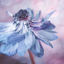 Faded Blue Anemone Flower With Bokeh Background