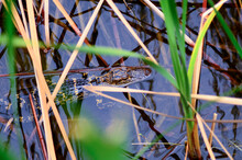 Juvenile Alligator In The Merr...
