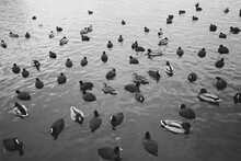 High Angle View Of Coots And Ducks Swimming On River