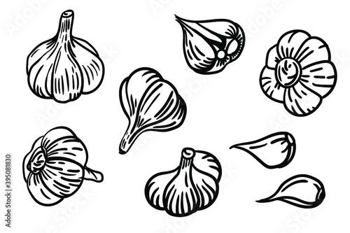 Fototapeta Vector garlic set. Hand-drawn illustration of a garlic head. obraz