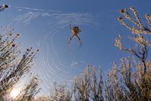 Tiger Spider (Argiope Lobata) ...