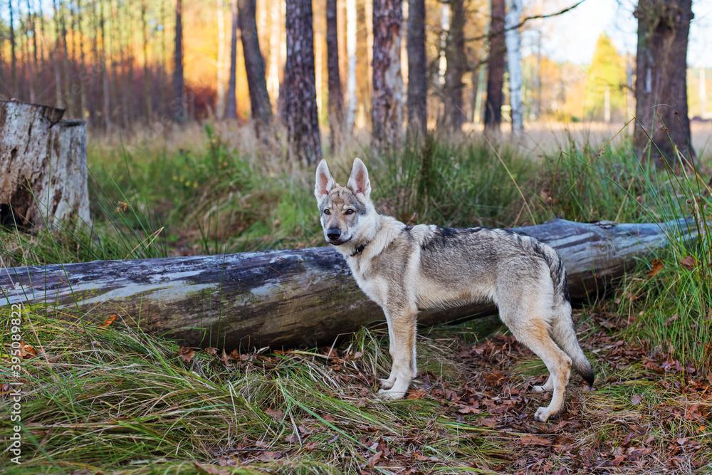 Fototapeta Młody pies w jesiennym lesie