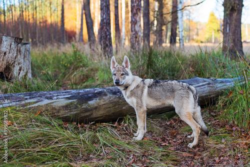 Obraz Młody pies w jesiennym lesie - fototapety do salonu