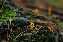 Calocera Viscosa, Sticky Coral Fungus In Forestry Area, Bohemian Paradise, Rock Formation Besednicke Skaly, Czech Republic