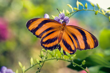 Banded Orange Butterfly Close Up