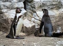 Humboldt Penguin, Spheniscus Humboldti In A Park