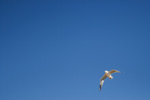 Seagull At Margaret River Mouth, Surfers Point, Western Australia