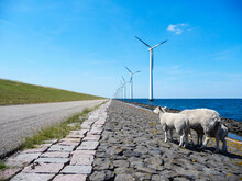 Sheep And Lamb On The IJsselmeer Dike With Modern Wind Turbines In Swifterband Flevoland Netherlands