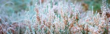 Forest Floor Of Blooming Heather Flowers (plant) In Rime At Sunrise, Close-up. Abstract Natural Botanical Floral Pattern, Texture, Background. Panoramic Image, Macro Photography