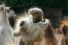 Funny Portrait Of Camel Zoo Sa...