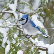 Blue Jay Perched on Pine Tree Covered in Snow, Closeup Portrait in Winter