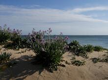 Touffe De Violettes De Dunes