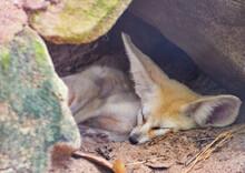 Close-up Of Fennec Fox Sleeping On Land