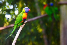 A Colorful Lorikeet Perched On...