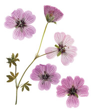 Pressed And Dried Pink Delicate Transparent Flowers Geranium (pelargonium), Isolated On White Background. For Use In Scrapbooking, Floristry Or Herbarium
