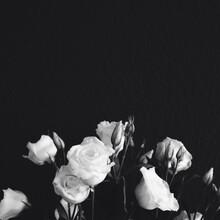 White Roses Against Black