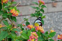 Butterfly From The Taiwan (Del...