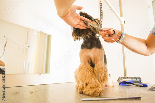 Obraz Making your dog glamour and stylish in grooming salon - fototapety do salonu