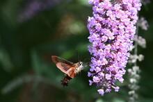 Close-up Of Hummingbird Moth Pollinating On Purple Flower