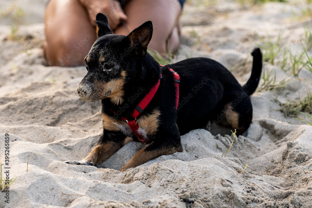 Fototapeta A black and brown dog sits on the beach covered in sand