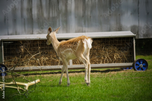 Photo The roe deer in the zoo park UK