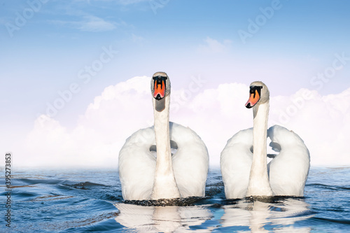 Photo Couple of white swans swimming side by side on the lake.