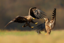 White Tailed Eagles Fighting In The Air