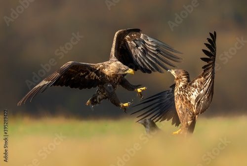 Fotografie, Obraz White tailed eagles fighting in the air