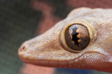 Close-up Of Common House Gecko Eyes