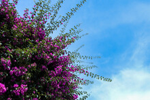 Purple Flowers Bush With Blue Sky Background