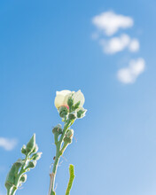Okra Pods And Blooming Yellow Flower Against Cloud Blue Sky At Late Growing Season