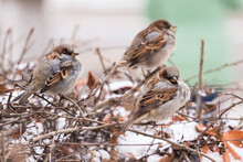 Three Sparrows Birds On Branch In Bush With Snow In Winter In Town, City