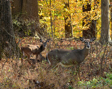 White-tail Doe And Fawn In The Woods In November