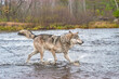 canvas print picture - Gray wolf crossing river